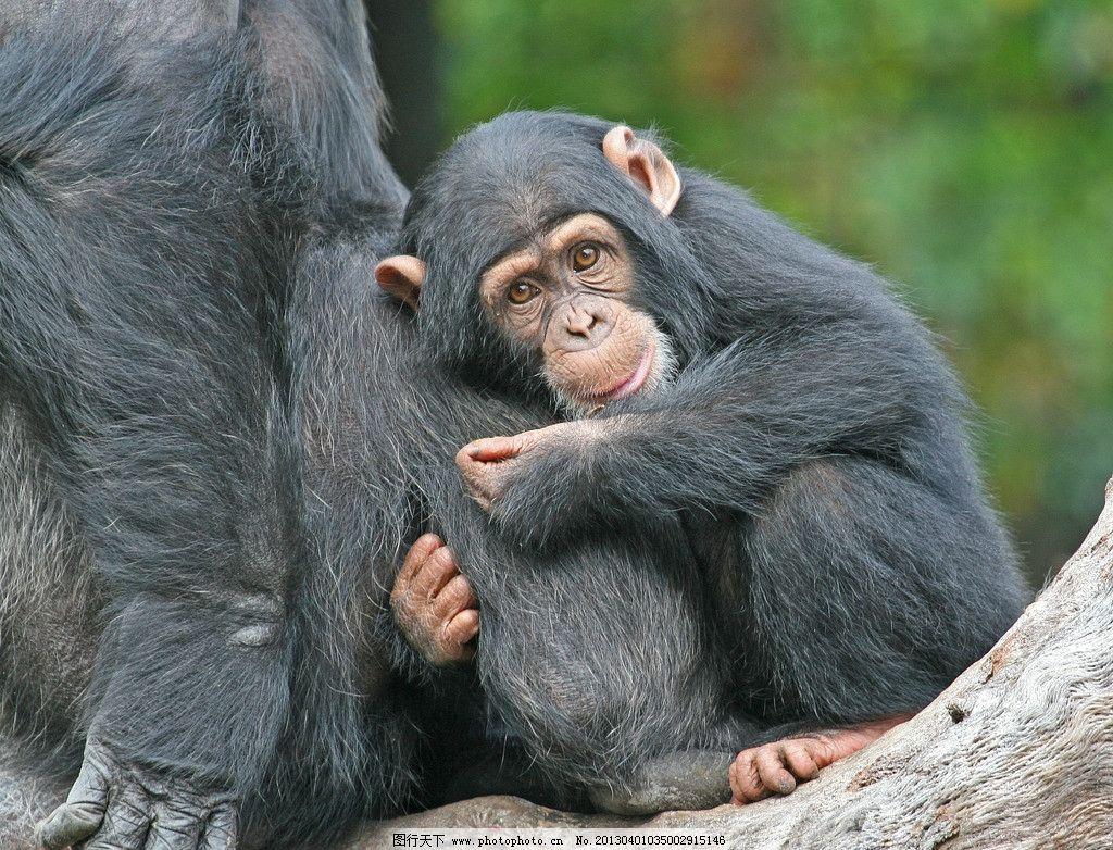 猩猩 母爱 顽皮 可爱 聪明 野生动物 生物世界 摄影 286dpi jpg