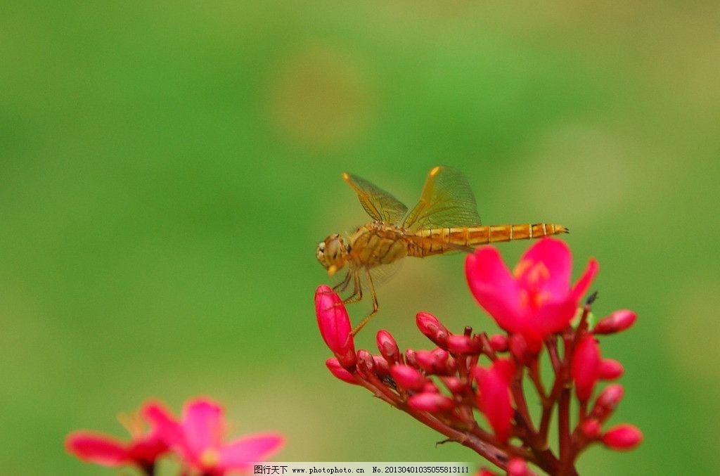 蜻蜓图片_野生动物_生物世界_图行天下图库