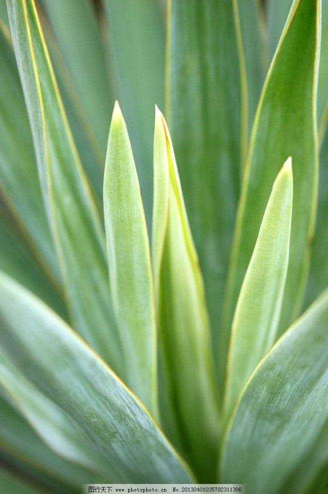 针叶植物 吊铃兰 针叶吊铃兰 绿色 植物 兰花 公园 春天 花草 生物