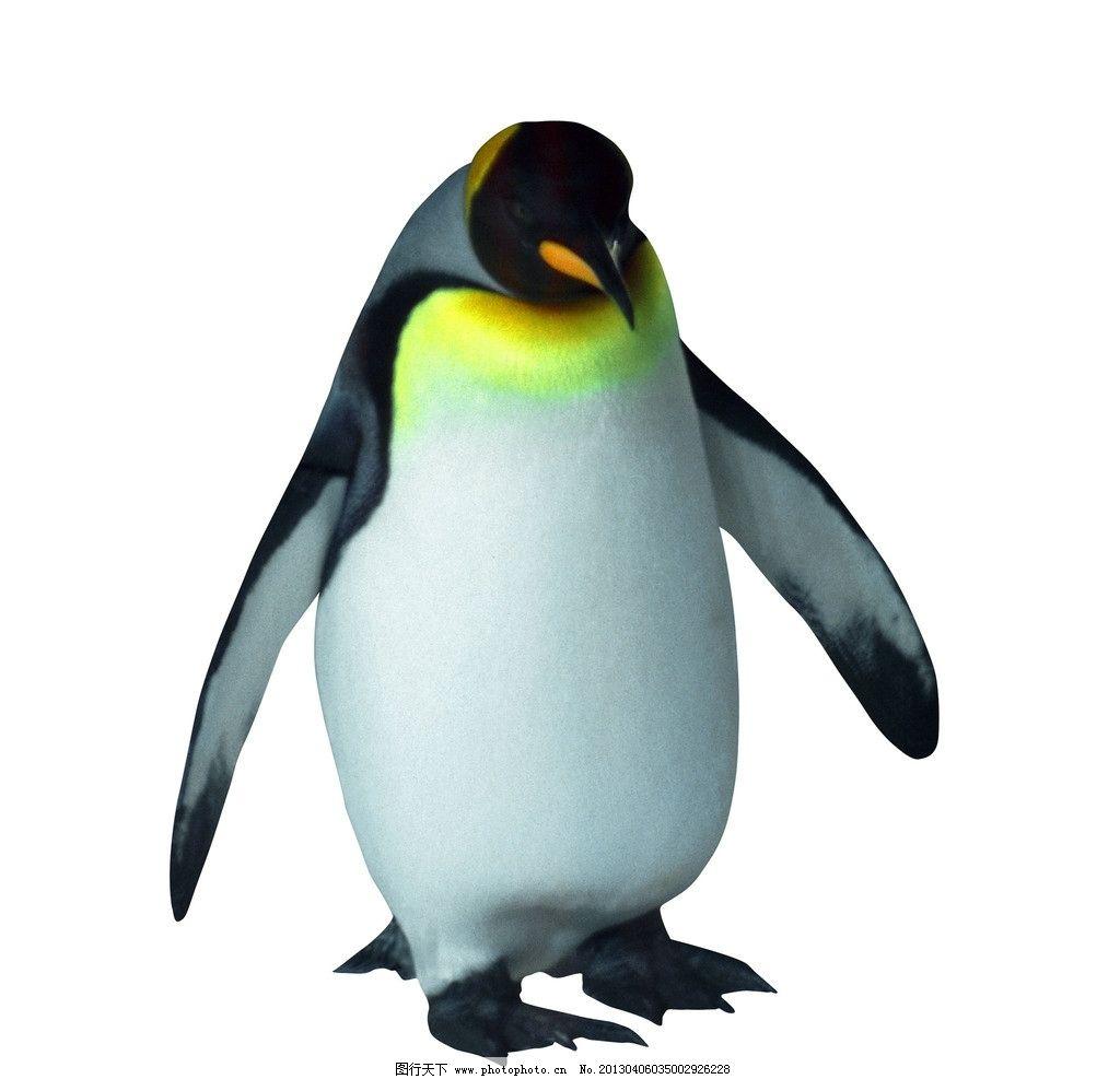 企鹅 动物摄影 南极企鹅 帝企鹅 企鹅素材 野生动物 生物世界 摄影 72
