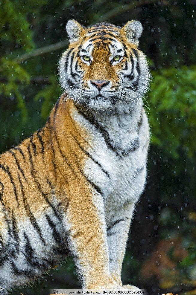 老虎 东北虎 凶猛 野生动物 动物园 生物世界 摄影 240dpi jpg