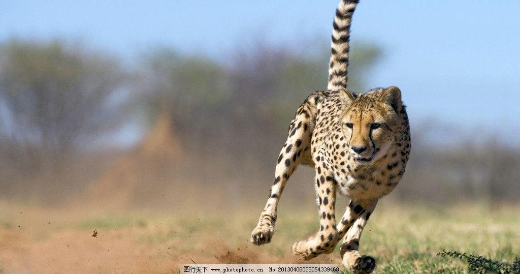 猎豹 豹纹 奔跑的猎豹 非洲草原 非洲猎豹 动物摄影 野生动物 生物