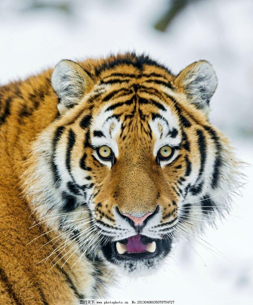 老虎 东北虎 凶猛 野生动物 动物园 生物世界 摄影