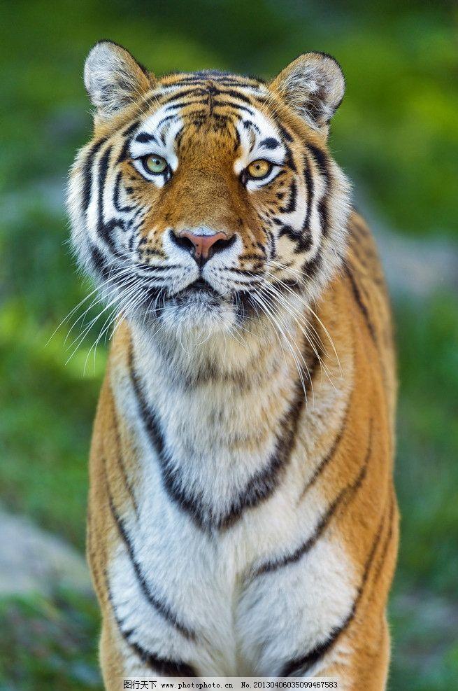 老虎 东北虎 凶猛 动物园 摄影