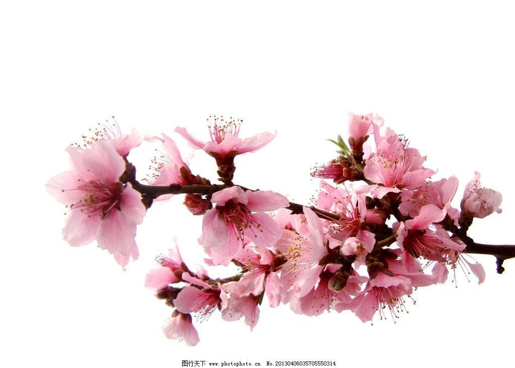 素描桃花的步骤和画法
