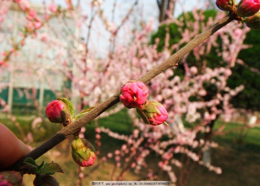 桃树 开花 花朵 树枝