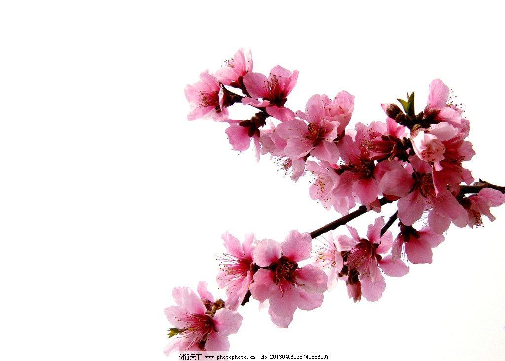 桃花树枝简笔画水彩笔