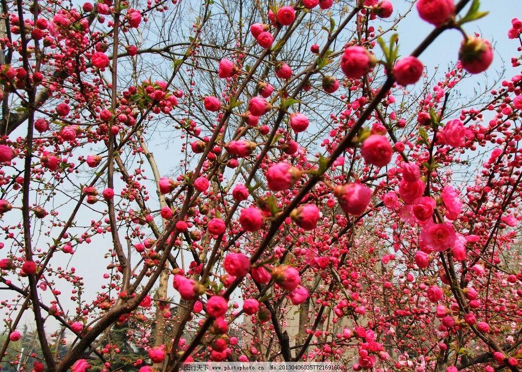 桃花 桃树 树枝 桃树开花 花朵 花草 生物世界 摄影 72dpi jpg