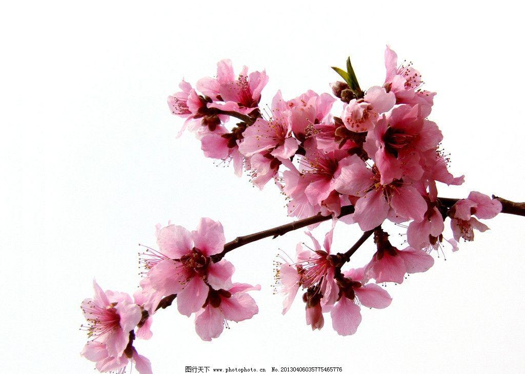 桃花 桃花开 桃花树 桃花节 桃花园 粉红 树枝 花朵 植物 花卉 花草