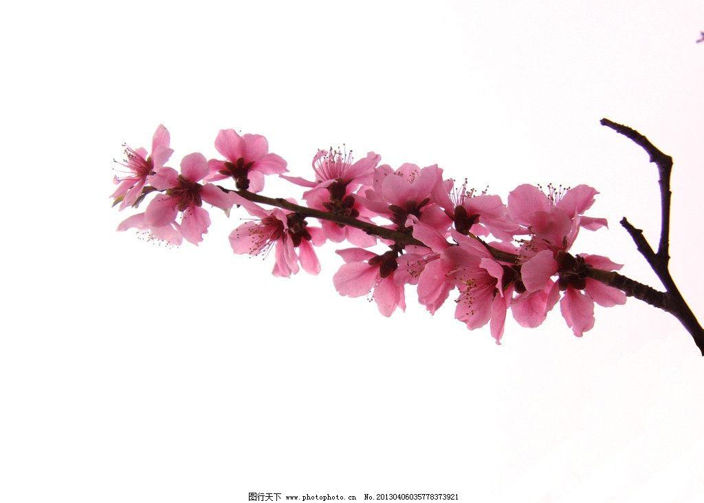 粉色壁纸桃花手绘