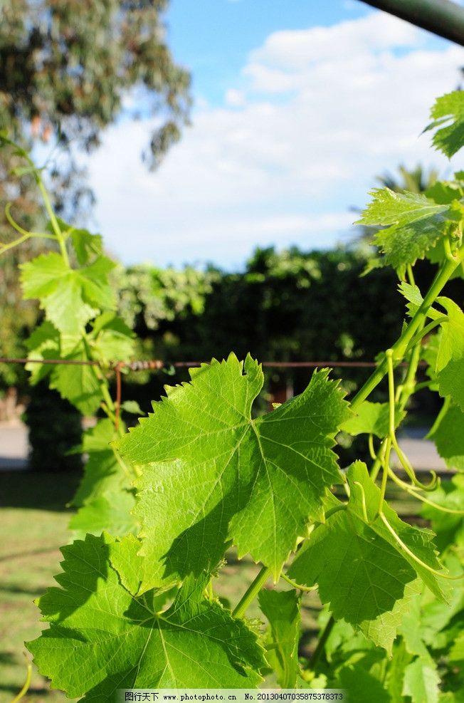 葡萄树树叶图片