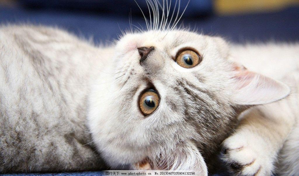 猫咪 小猫咪 灰色 大眼睛 睡觉 卖萌 宠物 家禽家畜 生物世界 摄影 72