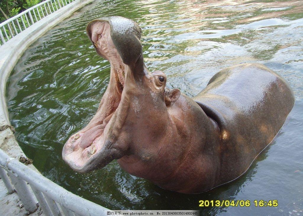 河马 河中马 河里马 大河马 河河马 野生动物 生物世界 摄影 96dpi