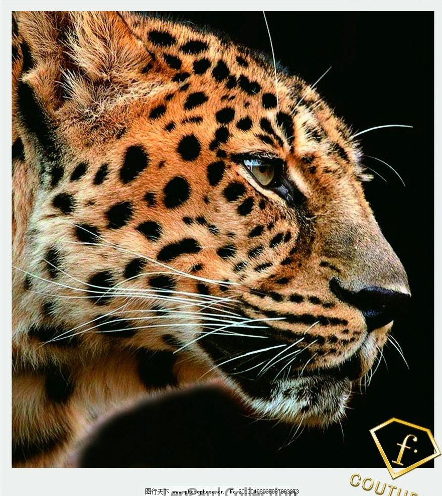 豹头 豹纹 野兽 冷酷 关注 等待 野生动物 生物世界 摄影 300dpi jpg