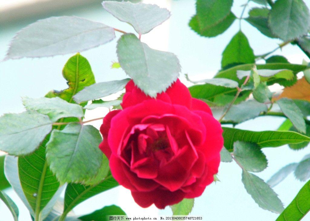 玫瑰花 红色玫瑰花 红玫瑰 鲜花 花朵 花蕾 花苞 生物世界 植物摄影图片