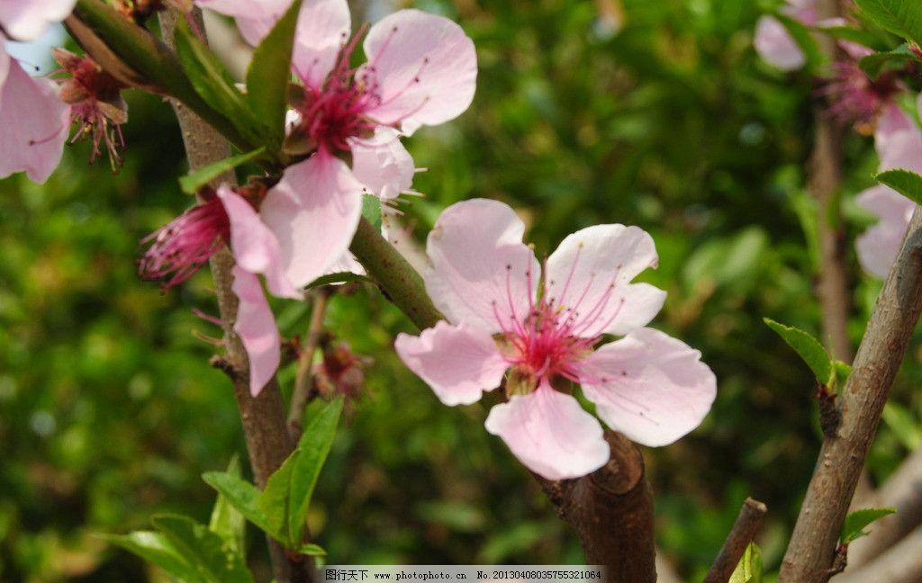 桃花 花儿朵朵 盛开 花儿 桃花朵朵 粉色桃花 盛开桃花 桃树开花 桃花