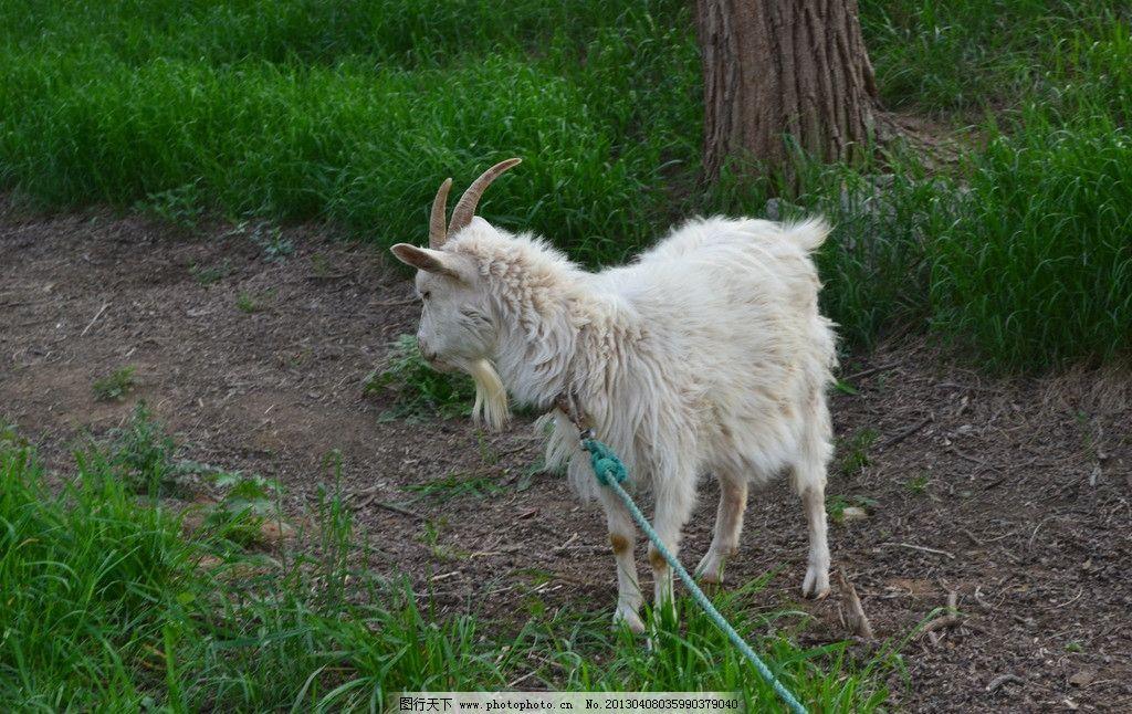山羊 家畜 小羊 动物 白色 摄影