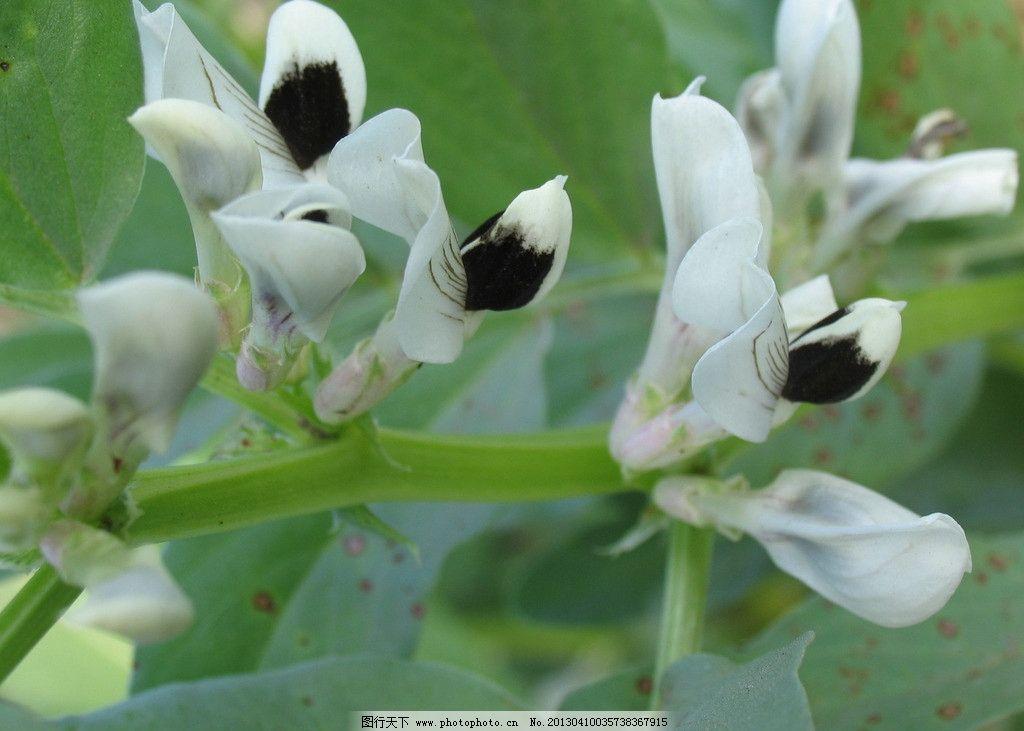 蚕豆花 农业生产 蔬菜 豆科植物 花草 生物世界 摄影 180dpi jpg