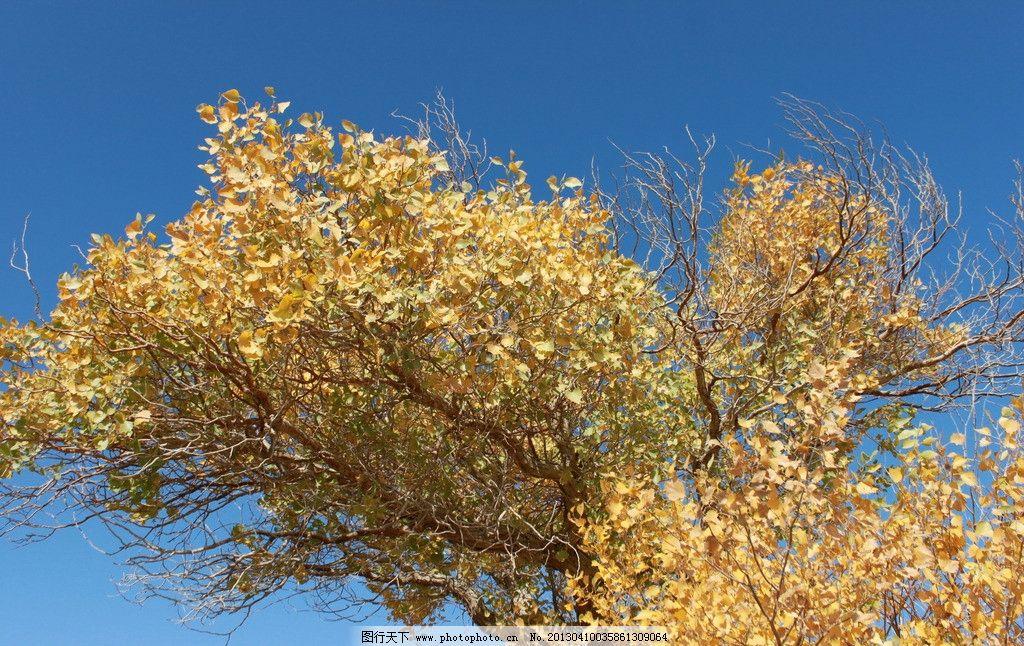 哈密伊吾胡杨林 新疆 哈密 伊吾 胡杨林 自然 古树 树木树叶 生物世界