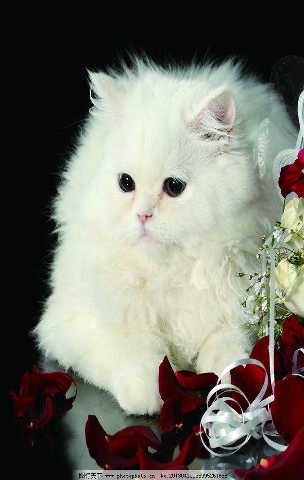 猫波斯猫 宠物 猫 波斯猫