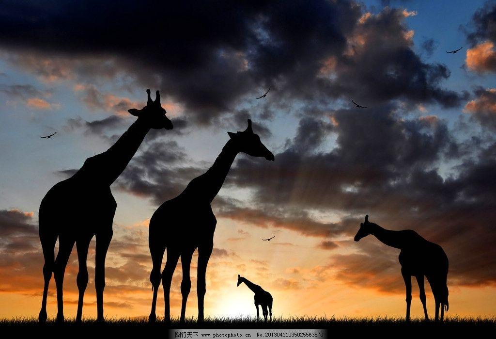 夕阳下的草原 长颈鹿 夕阳下的非洲草原 动物 野生动物 生物世界