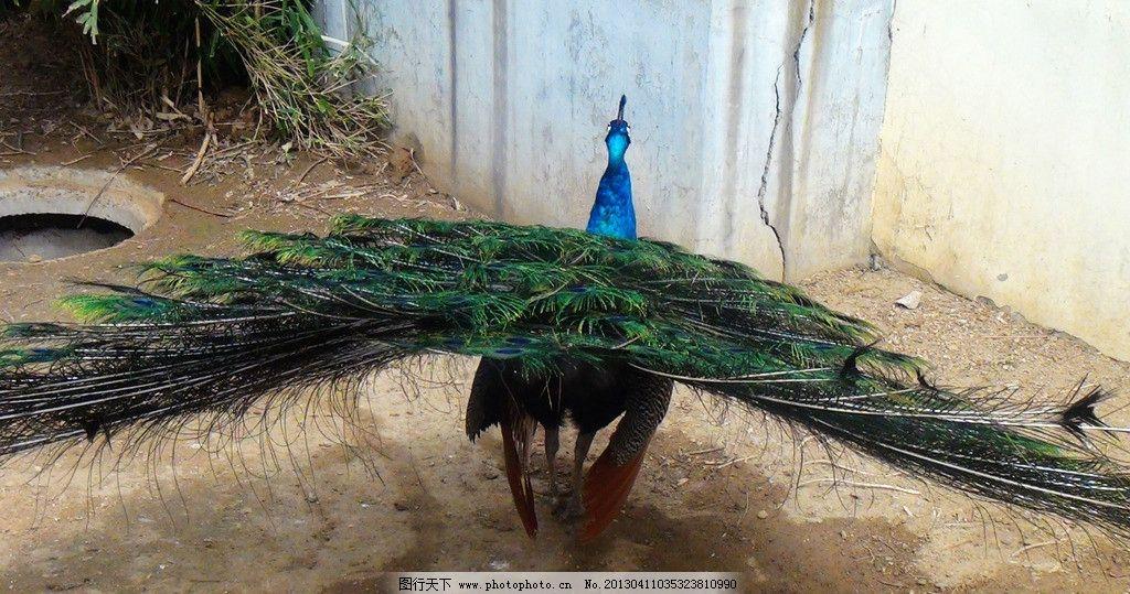 孔雀 动物园 孔雀开屏 羽毛 百鸟之王 珍禽异兽 鸟类 建筑 生物世界