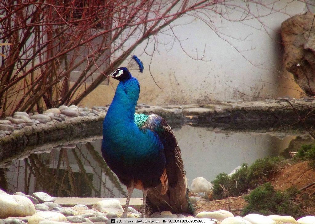 孔雀 动物园 孔雀开屏 羽毛 百鸟之王 珍禽异兽 鸟类 树木 黄叶 绿叶