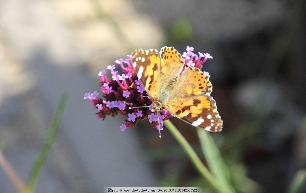 蝴蝶 生物 春天 近景 昆虫 生物世界 摄影 350dpi jpg