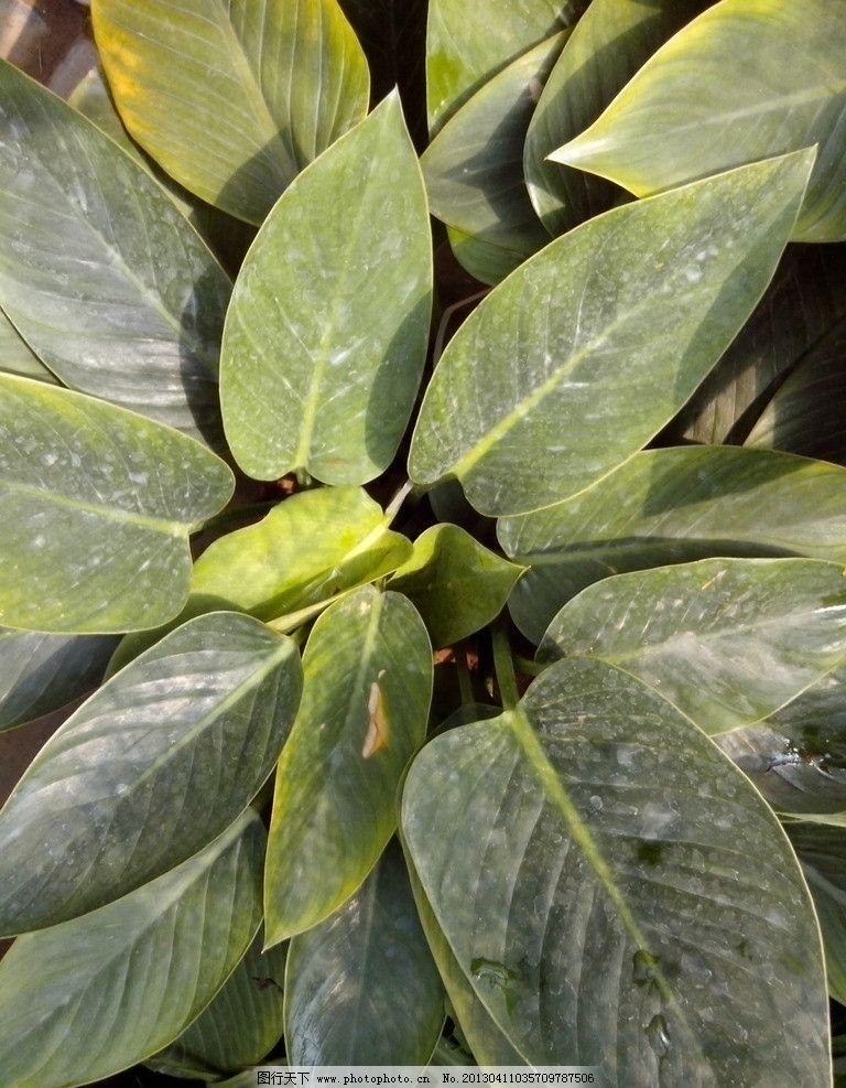 金钻 叶子 植物 绿叶子