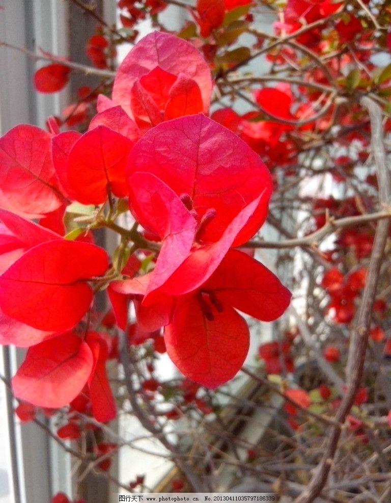 三角梅 摄影 植物 叶子 红色的叶子 枝头