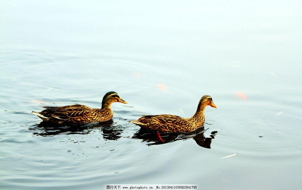 湖泊里的动物图片