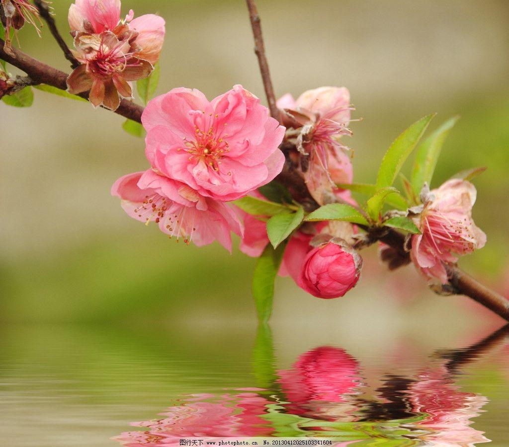 桃花 春天 树枝 花枝 叶子 特写 樱花 水中 倒影 水纹 设计素材 唯美