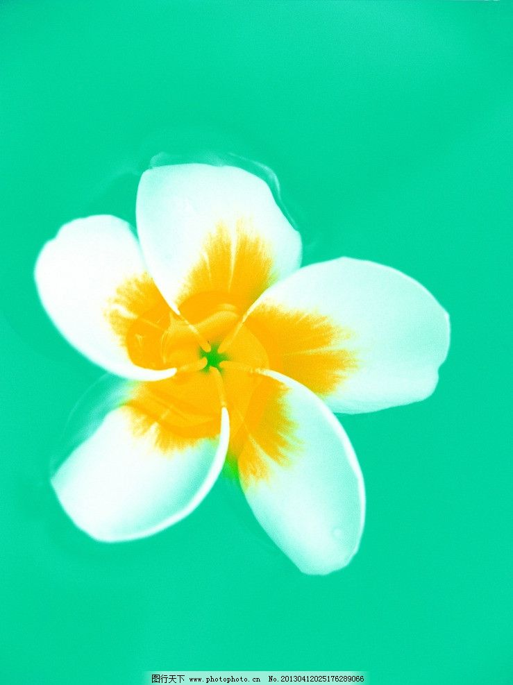 素雅白花 手绘花朵 素雅 白花 花草 鸡蛋花 生物世界 设计 304dpi jpg