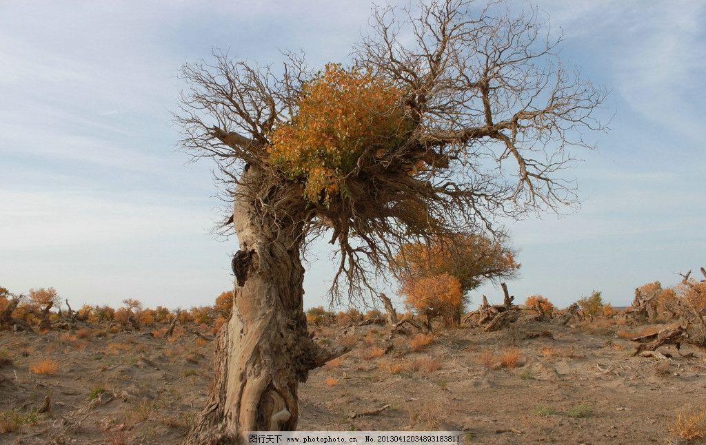 哈密伊吾胡杨林 新疆 自然 古树 新疆哈密伊吾胡杨林保护区 自然风景