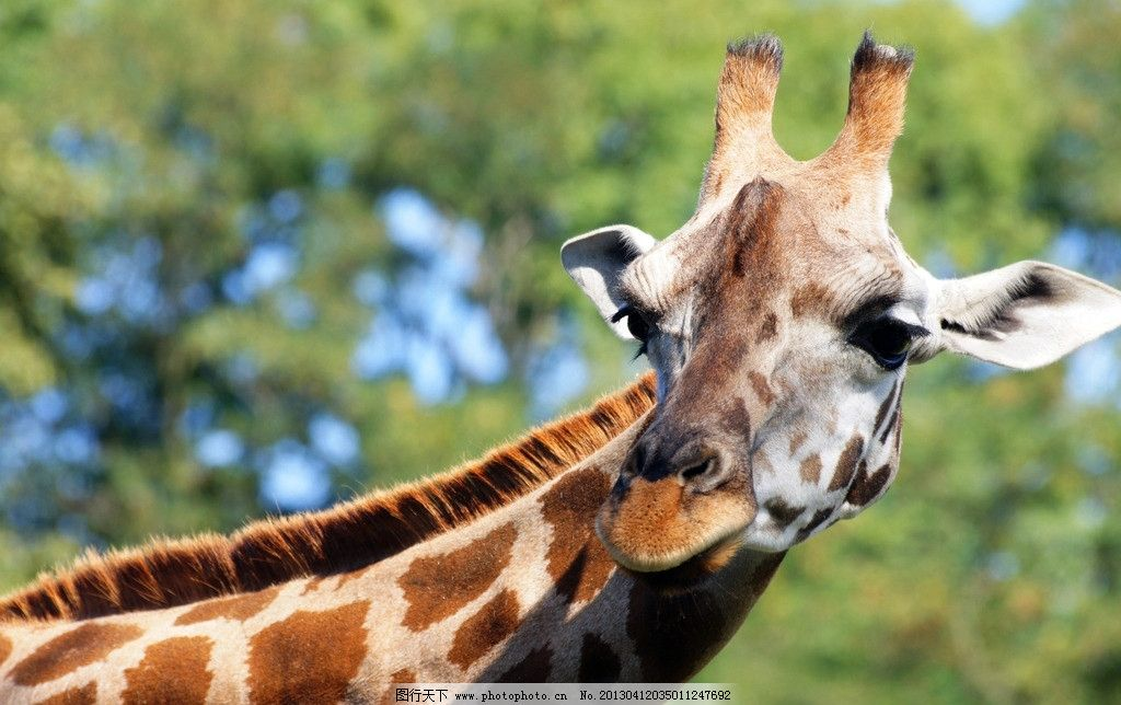 长颈鹿高清大图图片