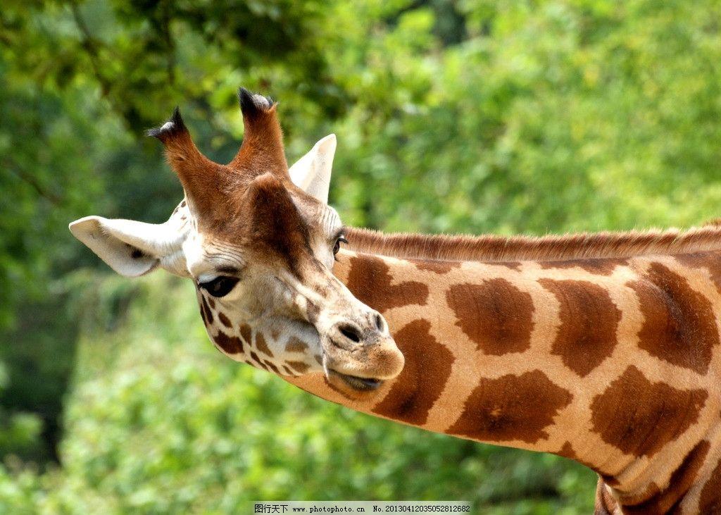 长颈鹿 哺乳动物 野生 动物 生物 自然 环境 草丛 森林 草原 树木