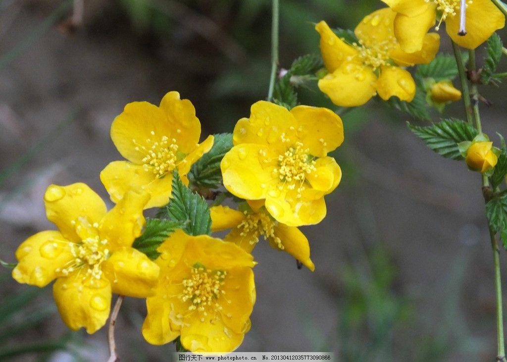 迎春花 黄色的花朵 鲜嫩的花芯 美丽的花朵 雨后的水珠 花蕾 绿叶