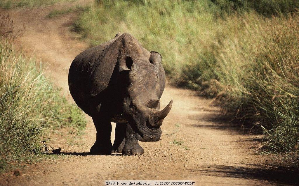犀牛 摄影 草原 动物 一只角 牛 野生动物 生物世界 72dpi jpg