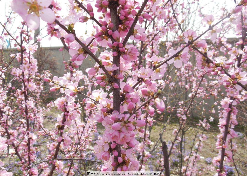 桃花 桃树 粉色花朵 春天 高清图 摄影