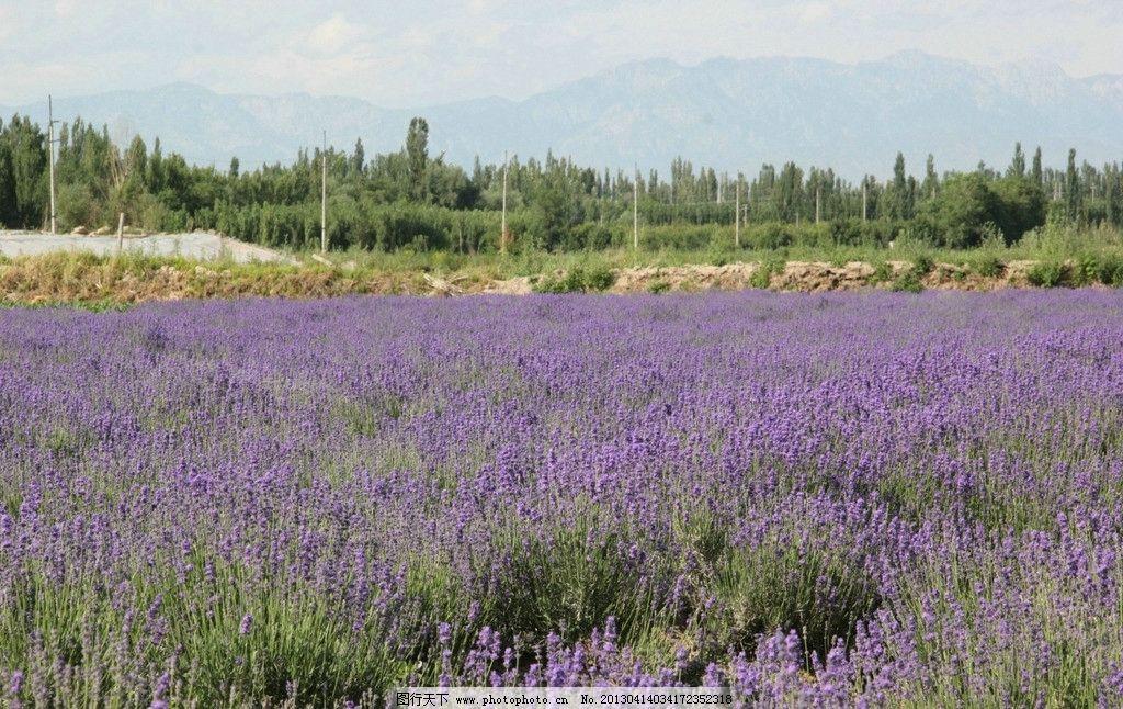 薰衣草 园地 未经过 处理 原拍 伊犁风景 自然风景 旅游摄影