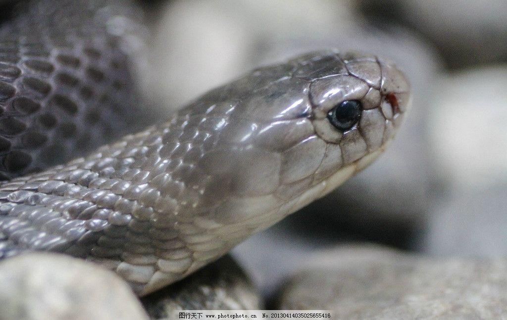 野生蛇 蛇头 毒蛇 冷血动物 摄影