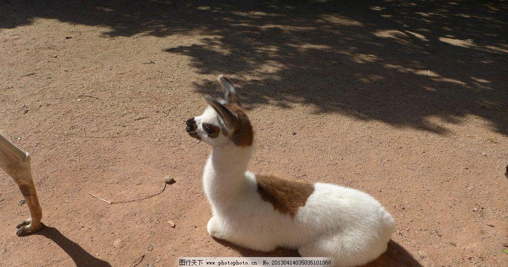 小动物 野生动物园 小羊 深圳风光 春游 深圳 野生动物 生物世界 摄影