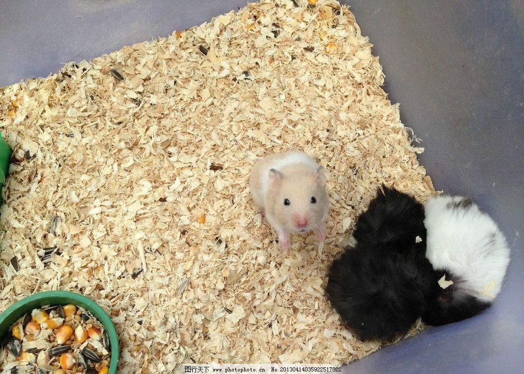 仓鼠 仓鼠嗑瓜子 宠物 鼠鼠 可爱仓鼠 白鼠 老鼠 小动物 野生动物