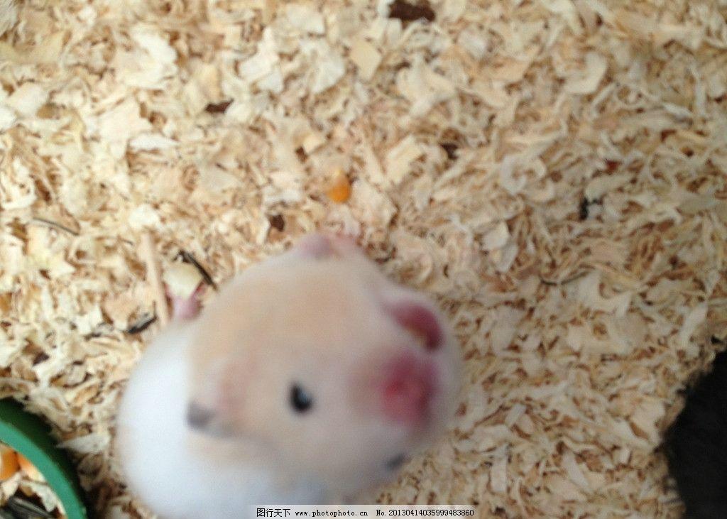 仓鼠 仓鼠嗑瓜子 宠物 鼠鼠 嗑瓜子 可爱仓鼠 白鼠 老鼠 可爱 小动物