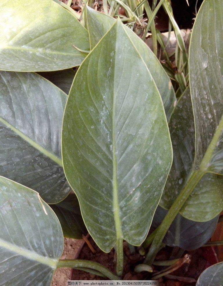 绿色植物 叶子 绿叶 大叶子 植物 摄影 花草 生物世界 72dpi jpg