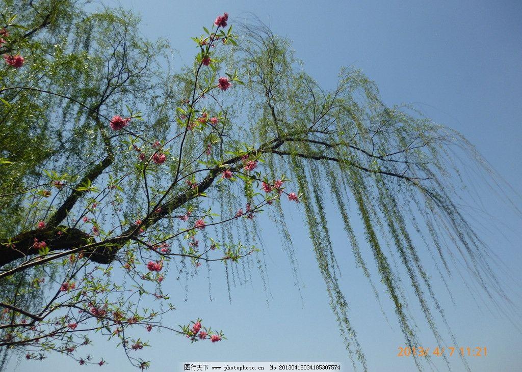 红色的花朵 西湖 湖水 柳树 垂柳 春天 绿叶 树叶 山峦 倒影 波纹