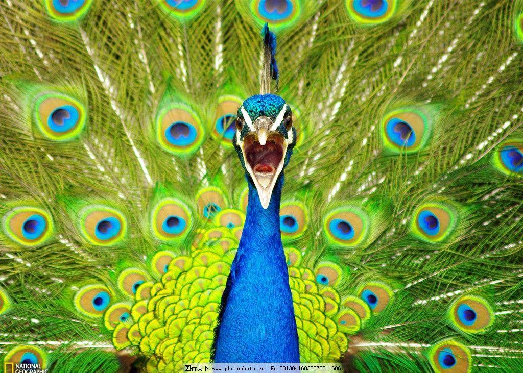 孔雀开屏 动物 鸟类 孔雀 开屏 绿色 生物世界 摄影 72dpi jpg