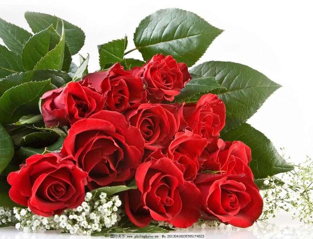 玫瑰花瓣 玫瑰 红色 鲜花