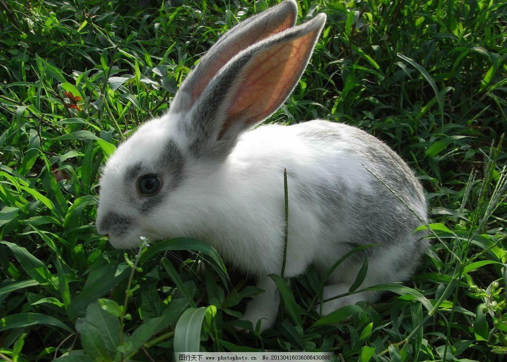 小兔 摄影 动物 可爱 小白兔