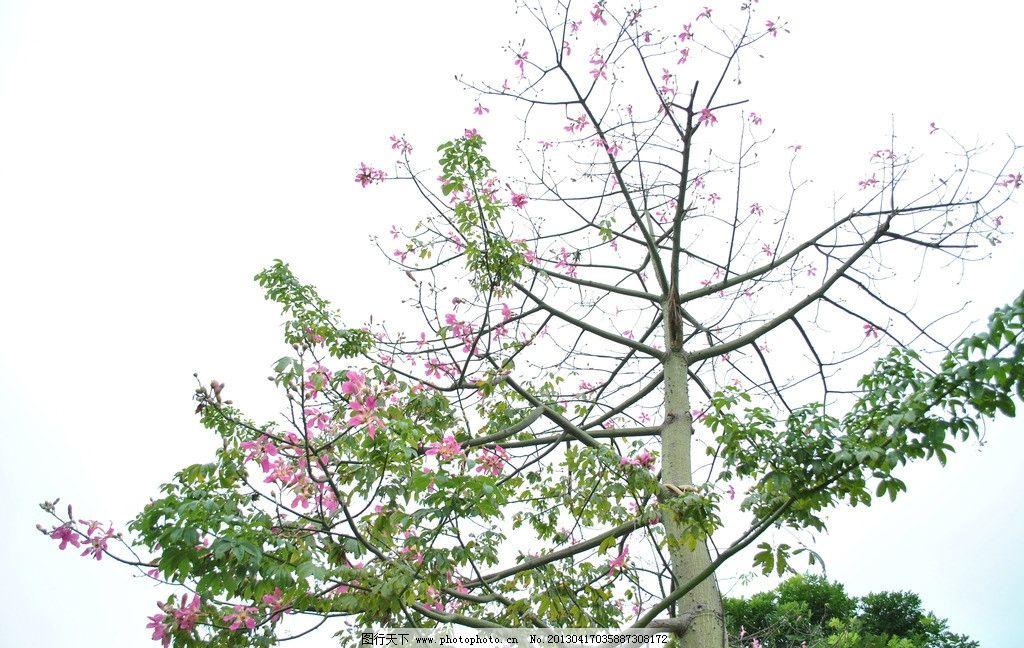 木棉花 绿叶 红花 蓝天白云 美丽 自然风景 生物世界 摄影 树木树叶